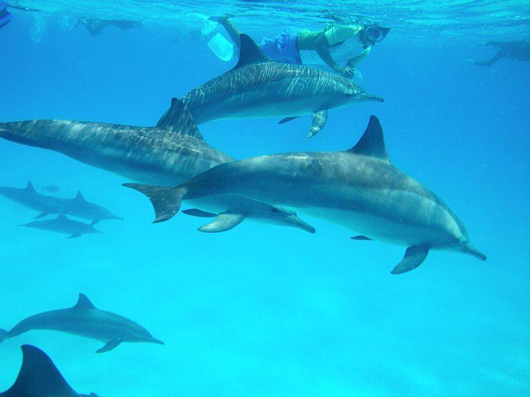schwimmer-mit-freien-delfinen