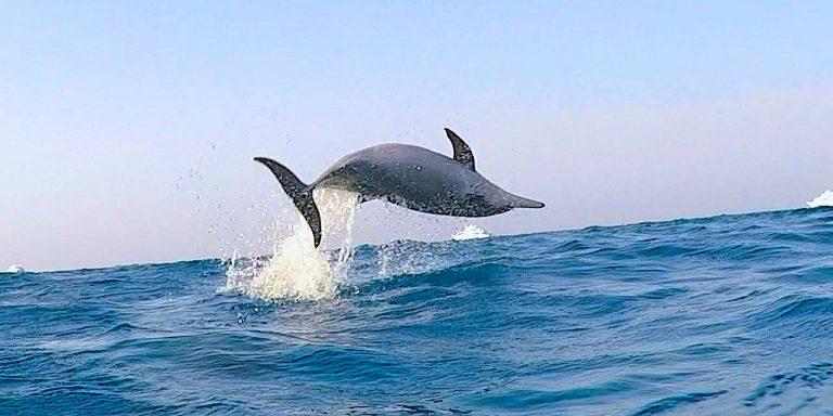 spinner-delfin-im-sprung