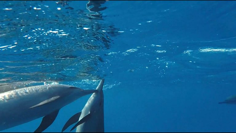 delfin-naeselt